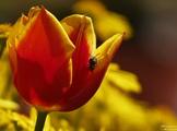 Tulpe mit Insekt